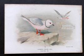 Lilford C1890 Antique Bird Print. Cuneate-Tailed Gull